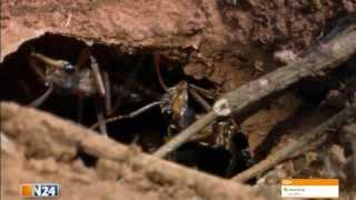 Doku - Monsterduelle XXS - Die gefärlichsten Insekten im Kampf ums überleben - Insekt Vs. Insekt
