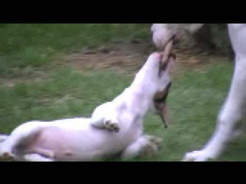 DOGO ARGENTINO VS. JACK RUSSEL BABY