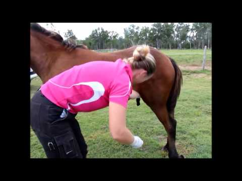 Xxx Mp4 Horse Castration Standing By Dr Louise Cosgrove 3gp Sex