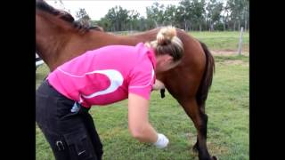Horse Castration Standing by Dr Louise Cosgrove
