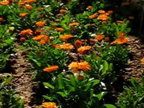 Horta de flor de Calêndula