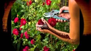 vanlalsailoa-Rose Par Rim Tui