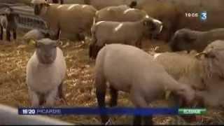 Baie de Somme, les agneaux de prés salés et le virus de Schmallenberg, reportage France 3 Picardie