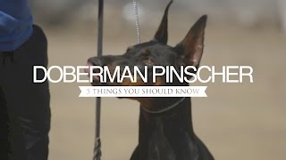 DOBERMAN PINSCHER FIVE THINGS YOU SHOULD KNOW