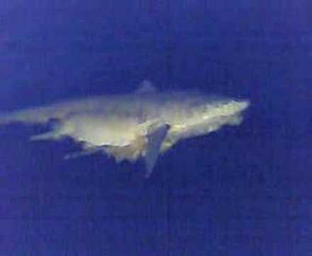 tiburon en el lago de maracaibo .