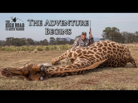 Xxx Mp4 Wildebeest Rogue Giraffe Hunt The Adventure Begins 3gp Sex