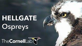 Cornell Lab | University of Montana Hellgate Ospreys [Dual-cam]