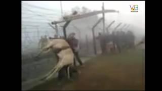 Cow crossed border