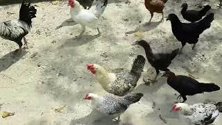 Nuralis Agro Farm: Jom Bersenam Bersama Ayam Kampung
