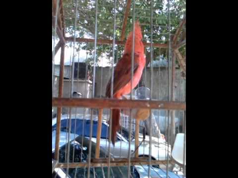 El canto del cardenal rey guajiro