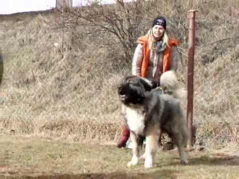 Kavkazsk� pasteveck� pes Caucasian ovcharka Egon Něžn� obr První � ižice 25.2.2012