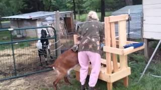 Mom tries to milk the goat.