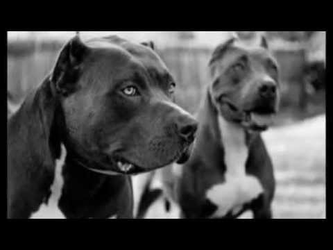 American Staffordshire Terrier vs Pitbull ¿Cuál ganaría Pelea de perros