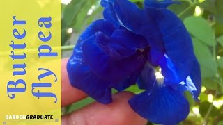 Butterfly Pea Seed Collecting | GardenGraduate