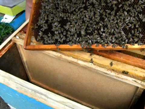 Пчеловодство bee отводок � а зр.маточ� ик