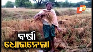 Farmers in distress over crop loss due to unseasonal rain in Boudh