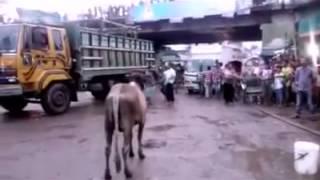 Pagla goru 2015 (qurbanir eid)