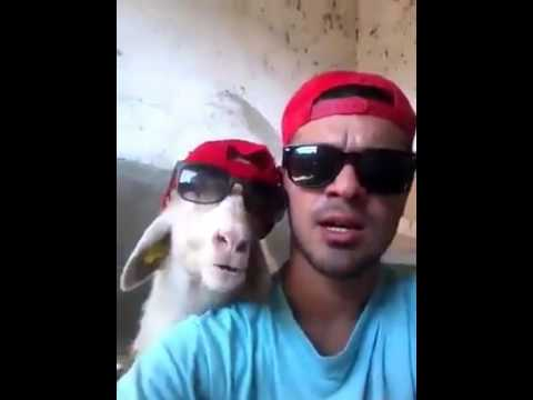 Goat talks with A man