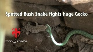 Spotted Bush Snake fights huge Gecko