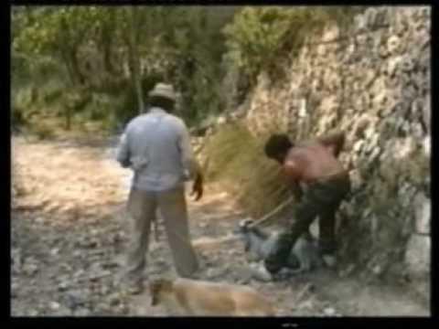 Caza de cabras a lazo en Es Galatzó