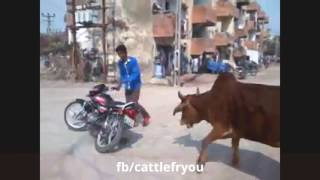 Funny Cow - Cow Attack on People - funny video
