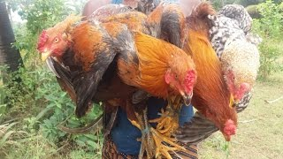 Cooking Four Country Chicken (Naattu Kozhi)  in My Village - Kulambhu Fry