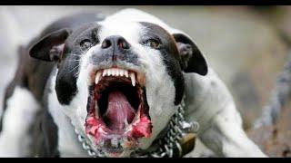 تدريب الكلاب على الهجوم
