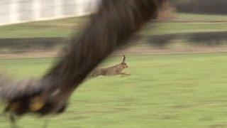 Hunting hares with golden eagles - fantastic flights