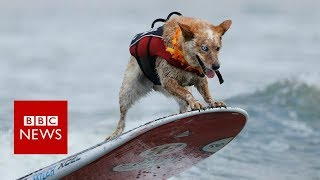Surf dogs compete at World Championships in US - BBC News