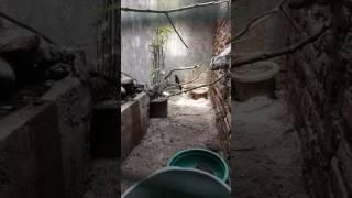 Murai batu Marike trah Lapangan vs beti Aceh