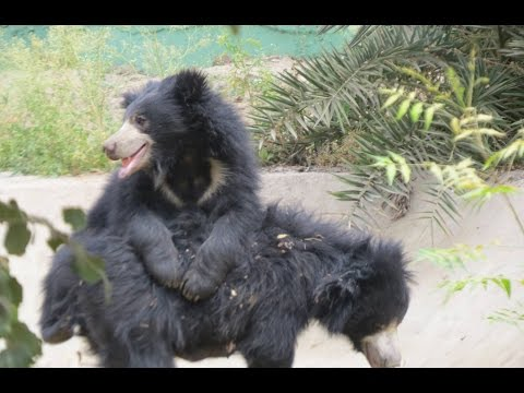 Xxx Mp4 Sloth Bear Fight Indian Zoo 3gp Sex