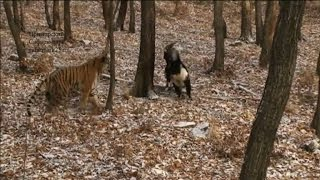 Tiger and goat's friendship tugs at Russians' hearts