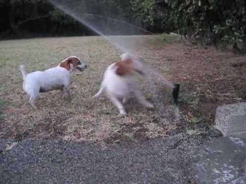 Xxx Mp4 2 Jack Russell Terrier Dogs Vs Sprinklers Fighting 3gp Sex