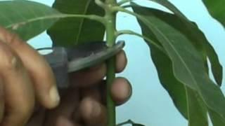 Mango Grafting