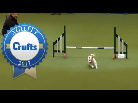 Hilarious Jack Russell Goes Crazy with Excitement at Crufts 2017