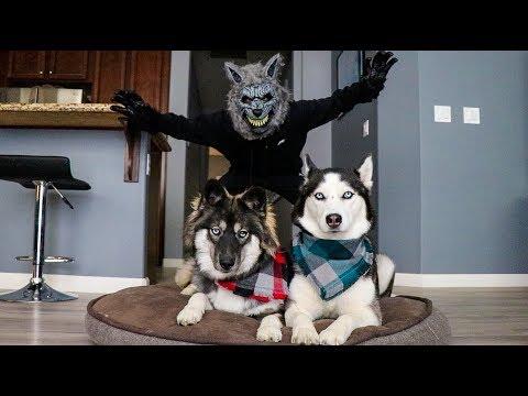 Xxx Mp4 Scary Werewolf Prank On My Huskies 3gp Sex