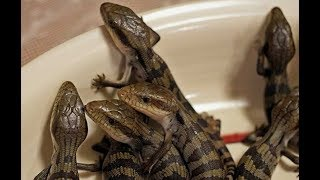 BABY SKINK LIZARDS ON THE WAY!!!! | BRIAN BARCZYK