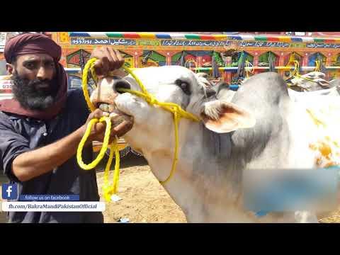 Xxx Mp4 Dajali Bull In Lahore Cow Mandi Bakra Mandi Pakistan Official 2019 3gp Sex