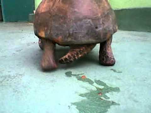 Penis de tartaruga