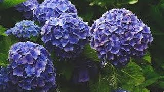 Como Cultivar de Forma Correcta las Hortensias - TvAgro por Juan Gonzalo Angel