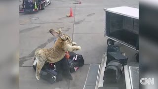 Shocking Footage of Dead United Airlines Bunny