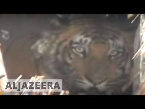 Tigers in peril in Bangladesh