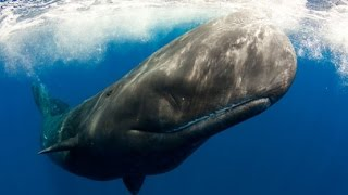 SPERM WHALES - The Rarest Whale in the World - Documentary