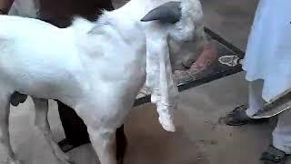 Rawalpindi Eid ul Azha goat qurbani 2017 - NZM