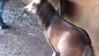 Donkey little horses sex