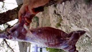 صيد النيص بميسان بالحارث جنوب الطائف