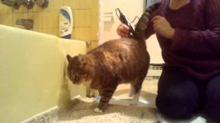 Shaving Gigi the cat