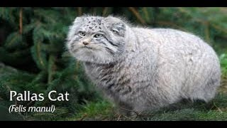 [Funny Animals] Pallas Cats is THE BEST Beauty Cats 2014