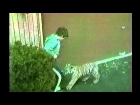 NSFW Tiger Attacks a Small Boy