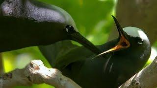 Noddy Birds Perform Courtship Rituals   BBC Earth